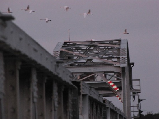 ponton-Meiningenbrücke mit Wildgänsen